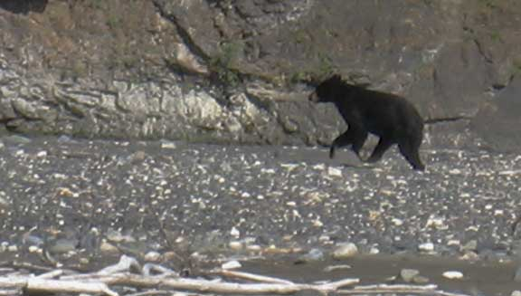 Small black bear on the Skewentna River