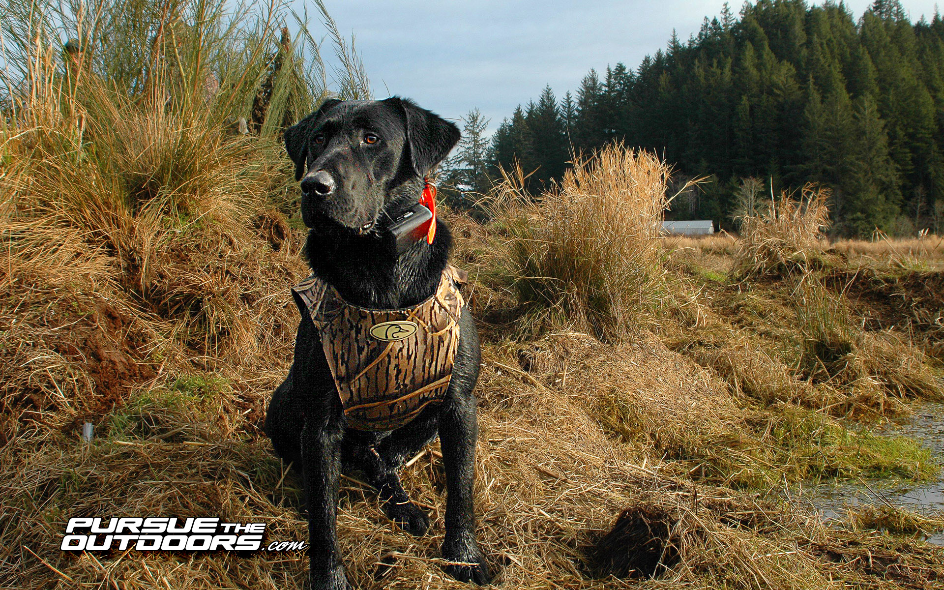pics photos duck hunting dog wallpapers