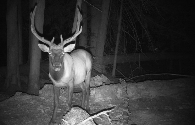 Trail cameras have many uses including patterning animals, seeing what is in the area, and watching growth of animals. There are many different types as well from expensive 7-8 hundred dollar ones to one hundred dollar cameras. I personally use mine for just about everything […]